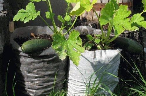 Способ выращивания кабачков в бочке