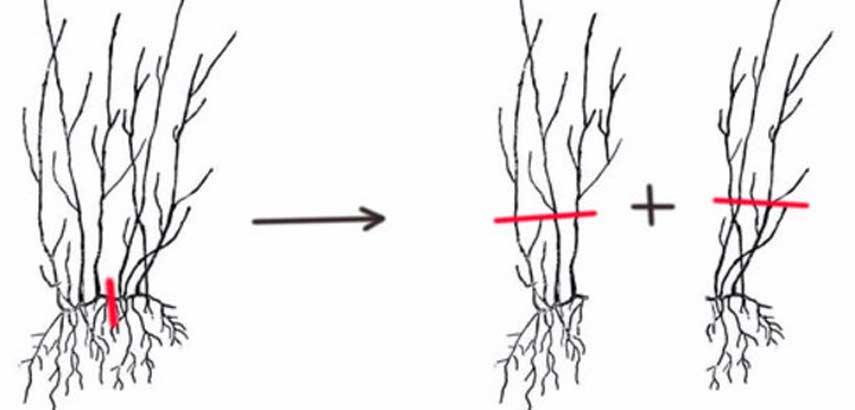Поэтапное черенкование гортензии для посадки в горшок или в открытый грунт