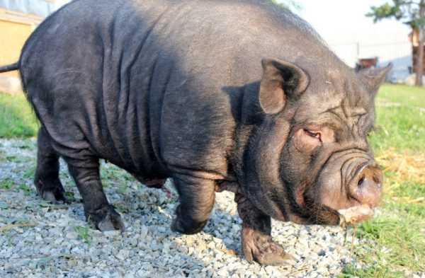 Содержание и разведение вислобрюхих вьетнамских свиней