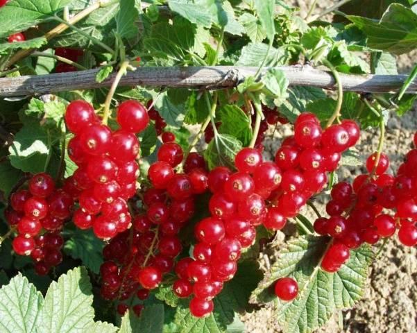 Урожайные и крупноплодные сорта красной смородины