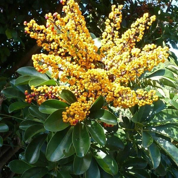 Цветок шефлера: фото, виды с названиями, уход в домашних условиях