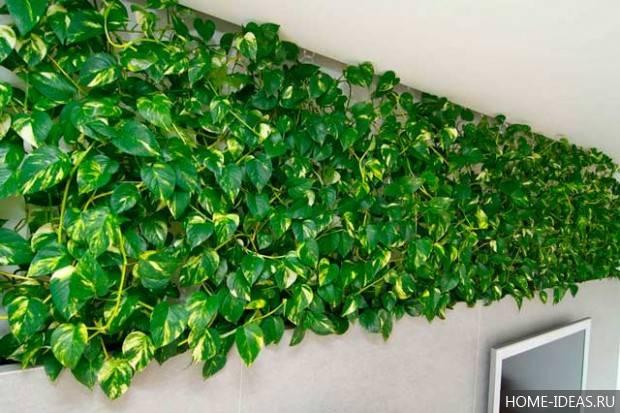 Виды и сорта комнатного растения сциндапсус, родина цветка