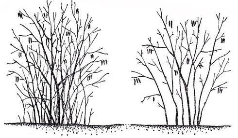 Как вырастить фундук: размножение, посадка, уход, цветение, урожай