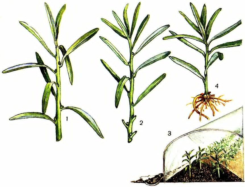 Сорта тархуна: описание видов кустового ароматного эстрагона, отличия с фото
