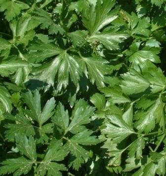 Как посадить и вырастить петрушку? пошаговые инструкции