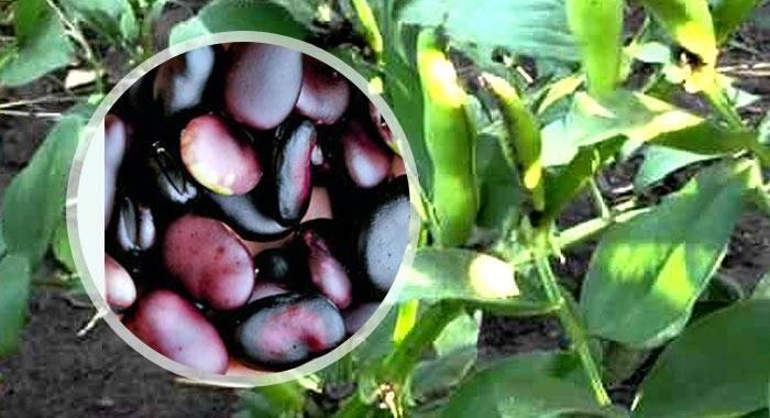 Как собрать и сохранить семена гороха, фасоли и бобов