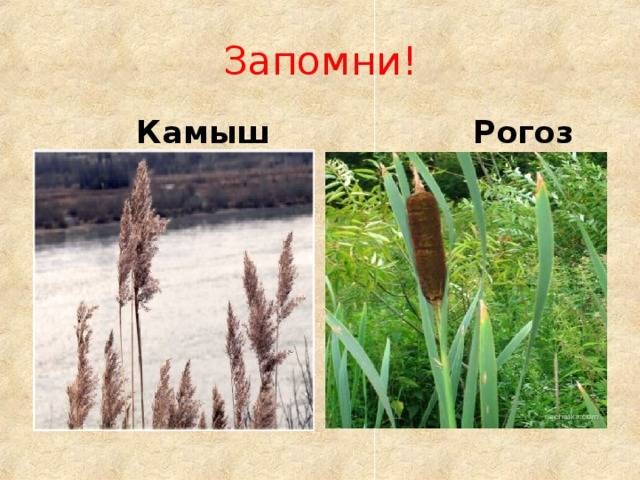 Камыш: описание и выращивание растения