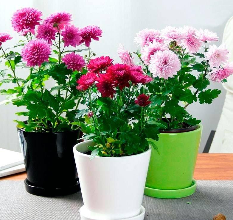 Уход в домашних условиях за хризантемой в горшке, пересадка и размножение