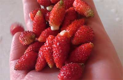 Земляника «али-баба»: описание и технология выращивания сорта
