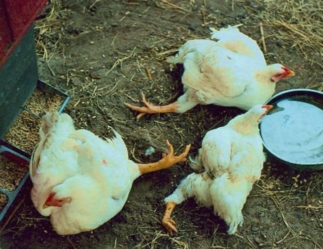 Как и чем лечить понос у бройлерных цыплят?