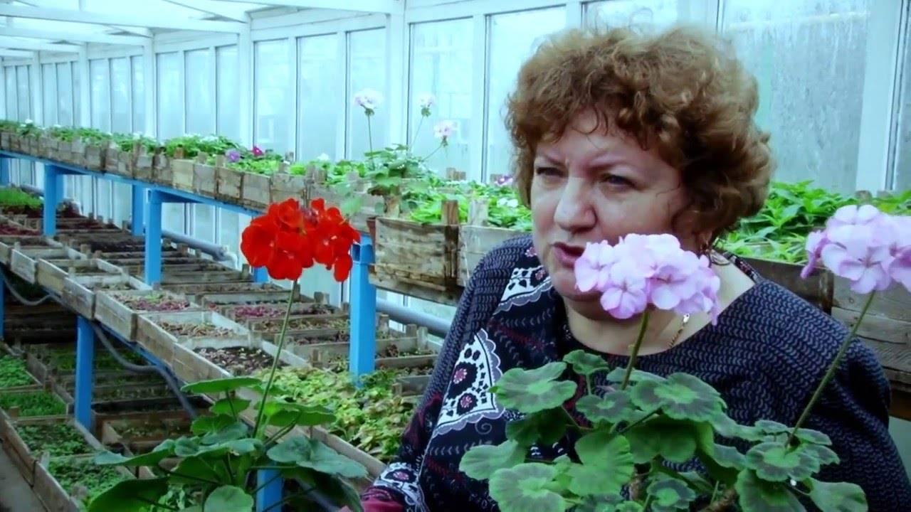 Выращивание рассады герани из семян в домашних условиях