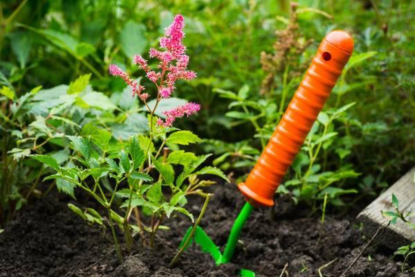 Астильба: выращивание и размножение