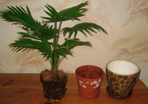 Выращивание кларкии изящной на дачном участке из семян