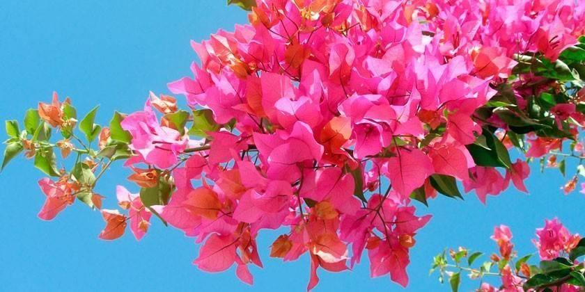 Бугенвиллея — особенности выращивания и отзывы