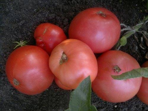 Описание и характеристики гибрида помидора катя f1