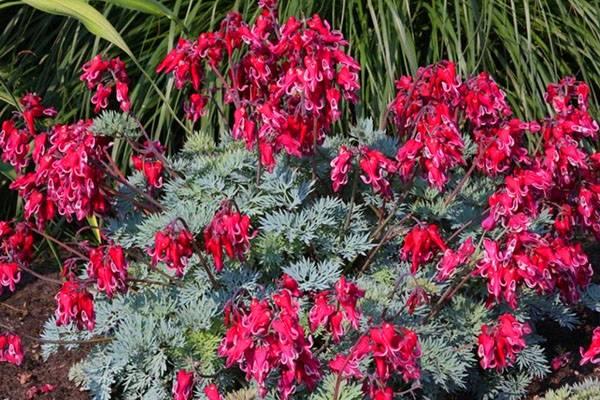 Цветок дицентра: описание сортов, посадка и уход за растением