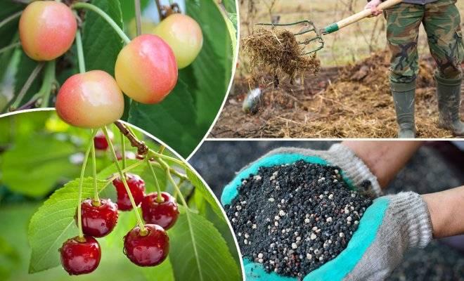 Чем подкормить вишню весной, летом и осенью: советы по уходу после цветения и правила подкормки фруктовых деревьев (145 фото + видео)