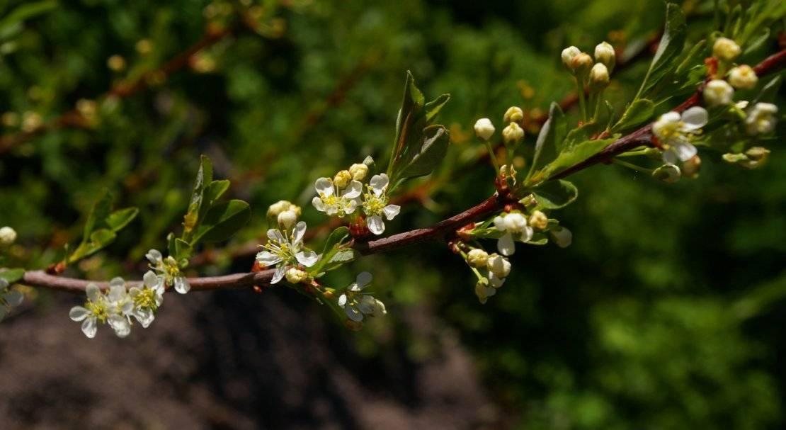 Рекомендации по посадке вишни бессеи и советы по уходу за ней.