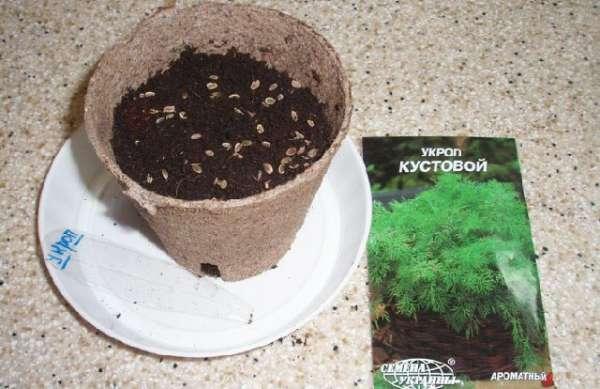 Как выращивать укроп на подоконнике для сочной, пышной зелени