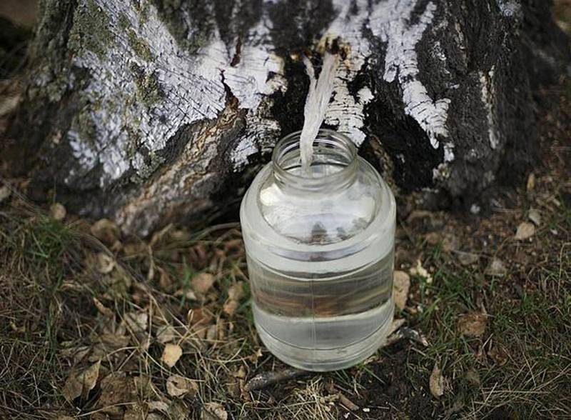 Как собирать березовый сок и сохранить дерево здоровым?