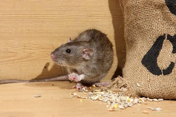 Эффективные средства против мышей на даче