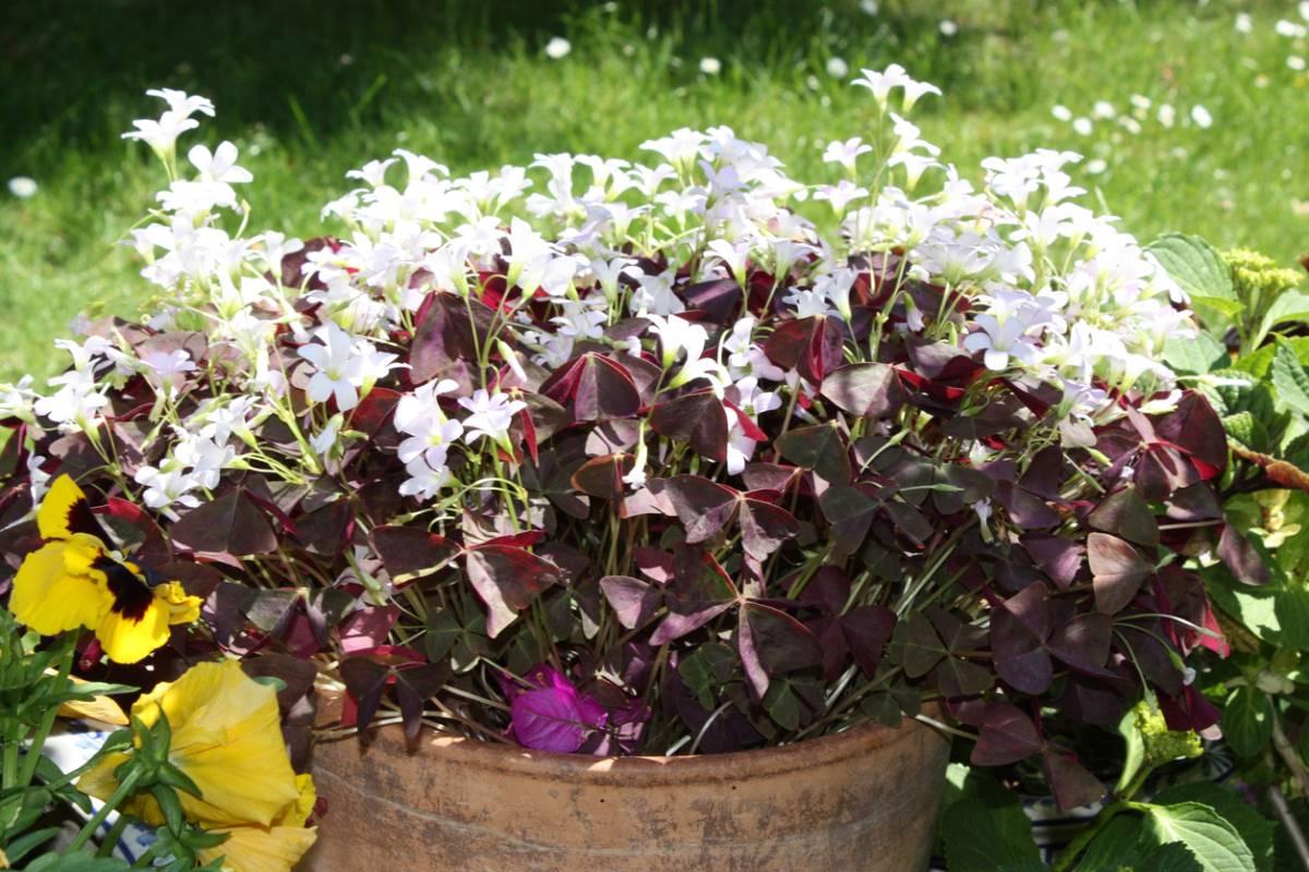 Цветок спатифиллум – размножение в домашних условиях