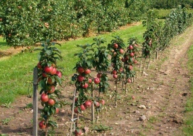 Особенности посадки и ухода за колоновидной яблоней