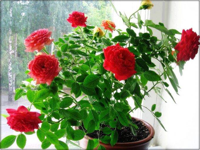 Роза комнатная - уход в домашних условиях, фото и описание видов