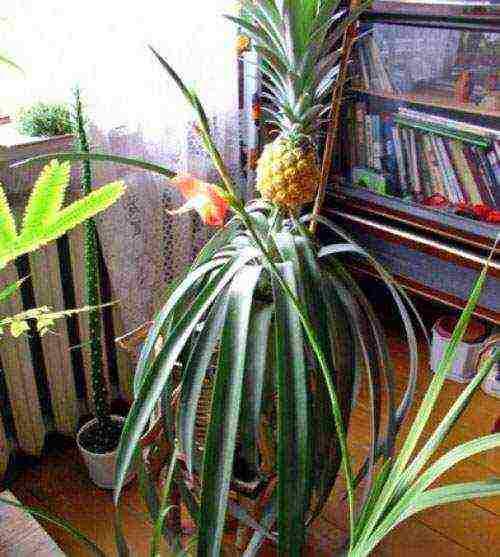 Как растет ананас на плантациях, в теплице и в квартире