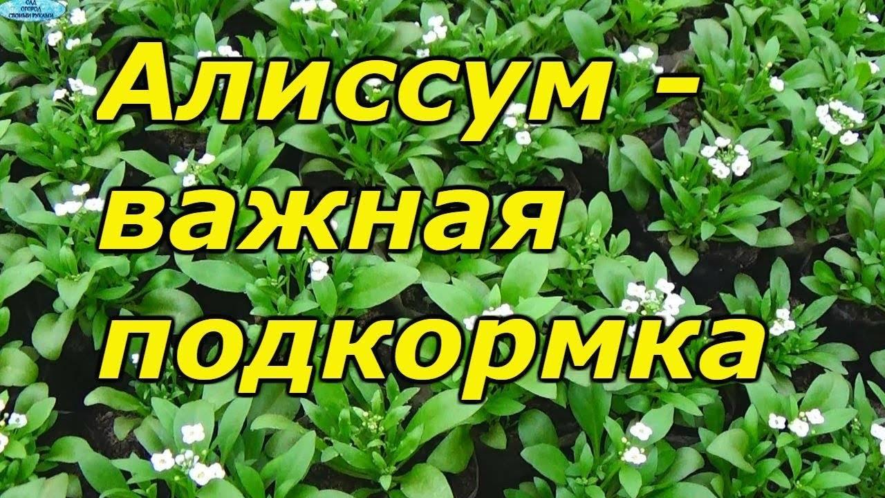 Уход за алиссумом после цветения, сбор семян, обрезка, видео