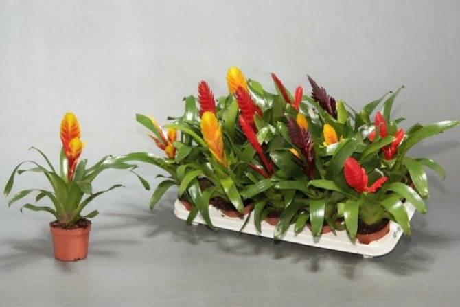 Вриезия — уход в домашних условиях, как цветет вриезия