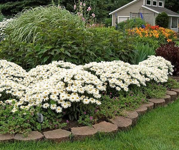 Ромашка садовая многолетняя посадка и уход