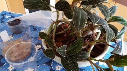 Размножение орхидеи лудизии делением куста, черенкованием, видео