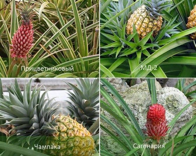 20 удивительных фактов об ананасах