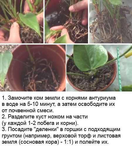 Гибнет антуриум что делать. реанимируем гибнущее растение антуриум