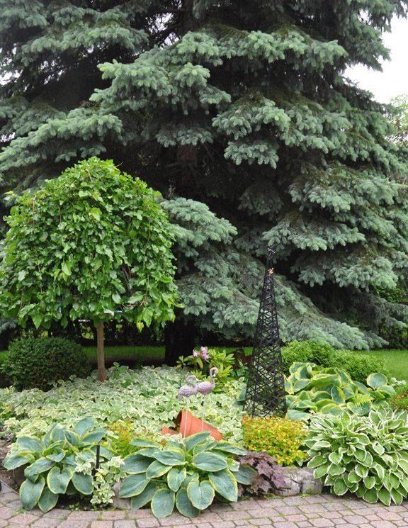 Сныть пестролистная — неприхотливое растение для украшения садовых лужаек