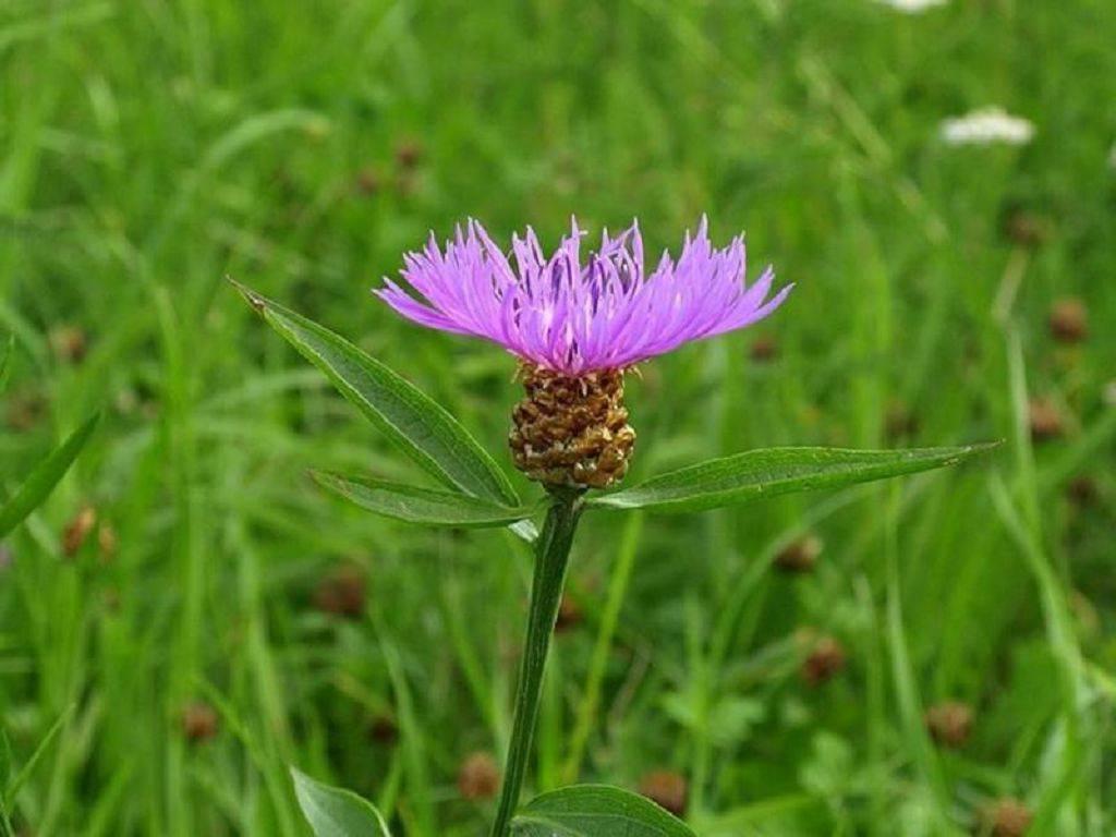 Василек луговой: виды, фото с описанием, лечебные свойства