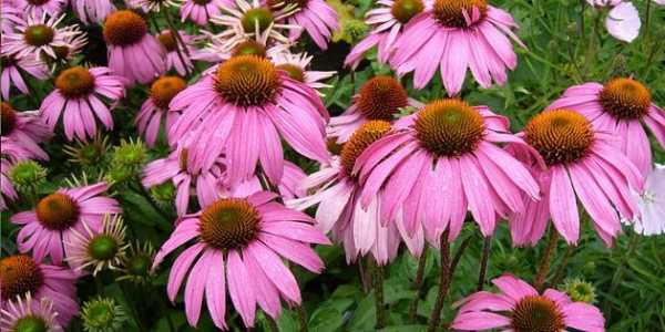 Эхинацея пурпурная: выращивание, использование, полезные свойства.