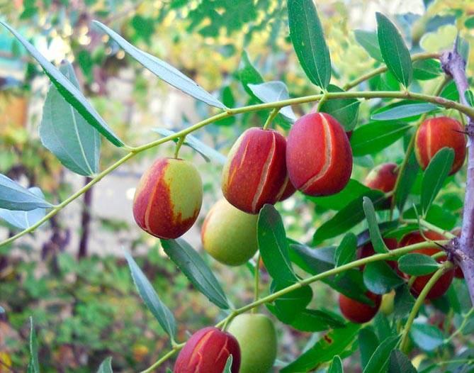 Унаби: посадка и уход. унаби — дерево молодости и здоровья