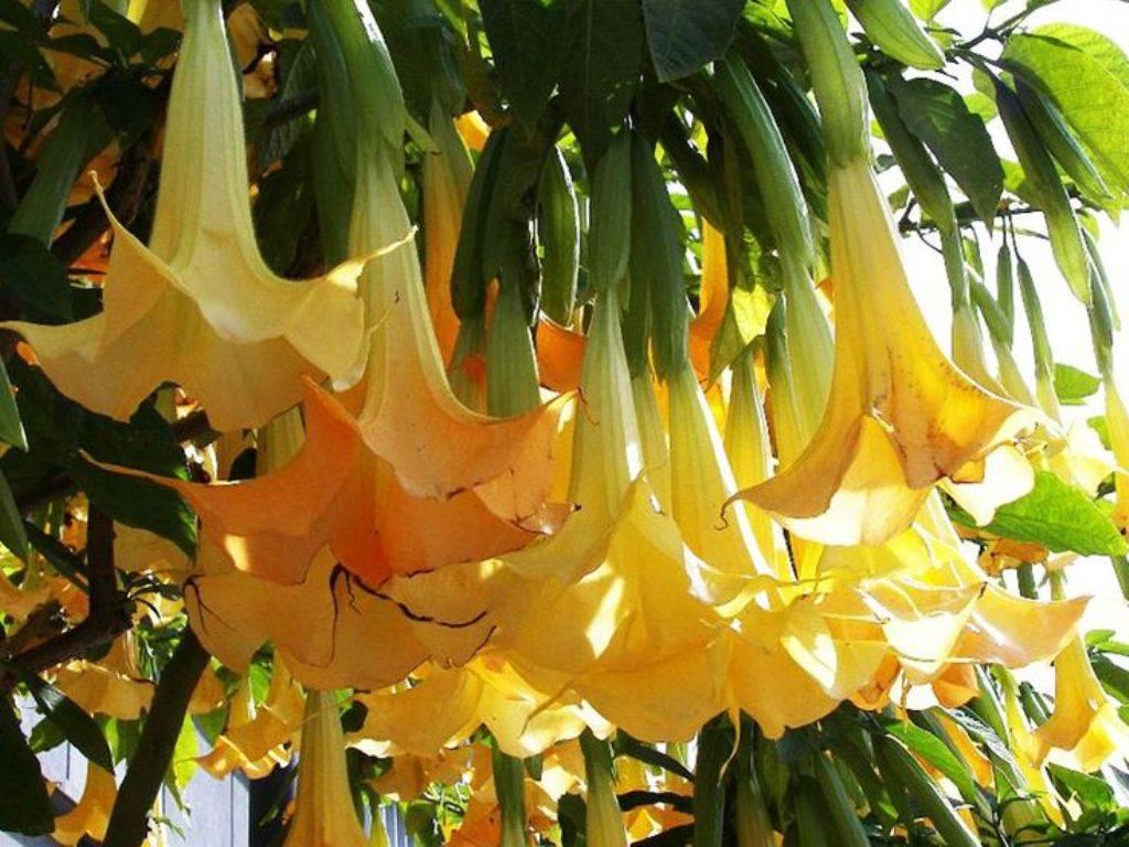 Бругмансия: посадка и уход, выращивание из семян, размножение