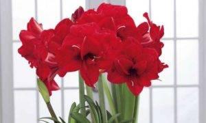 Декоративный гиппеаструм: выращивание и размножение из семян в домашних условиях