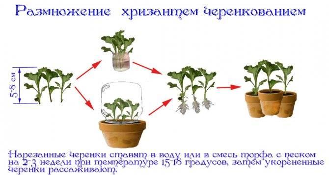 Тонкости размножения пеларгонии путём черенкования