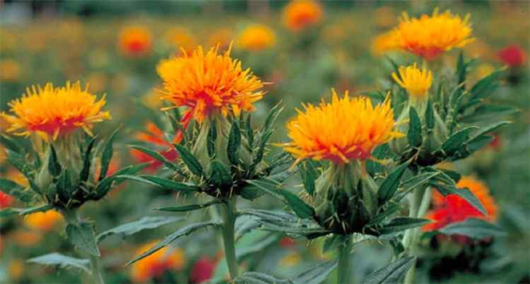 Сафлор красильный: польза, вред и использование растения