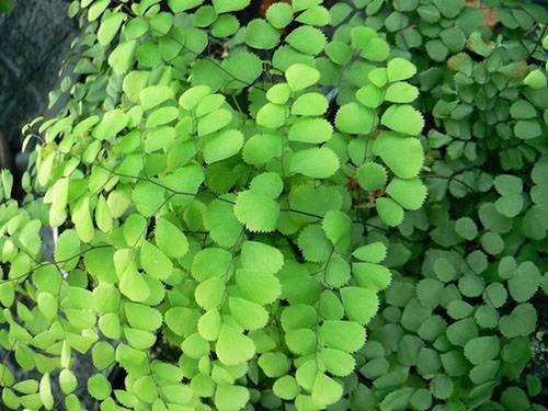 Растение адиантум — венерин волос