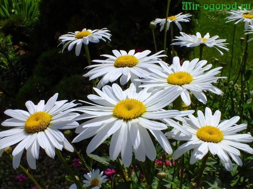 Нивяник: посадка, выращивание и уход. заботимся о ромашках в нашем саду.