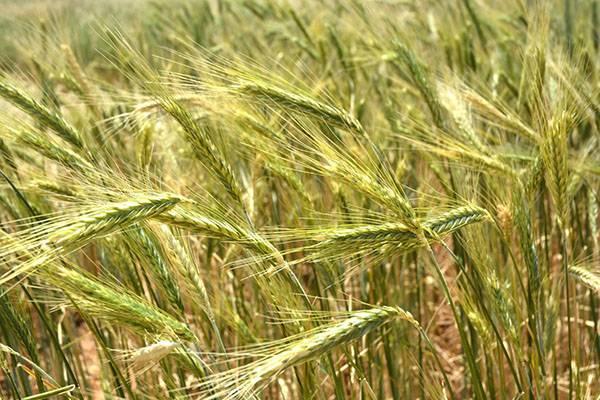 Чем рожь отличается от пшеницы — основные отличия