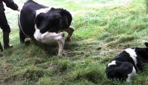 Что делать, если теленок залеживается?