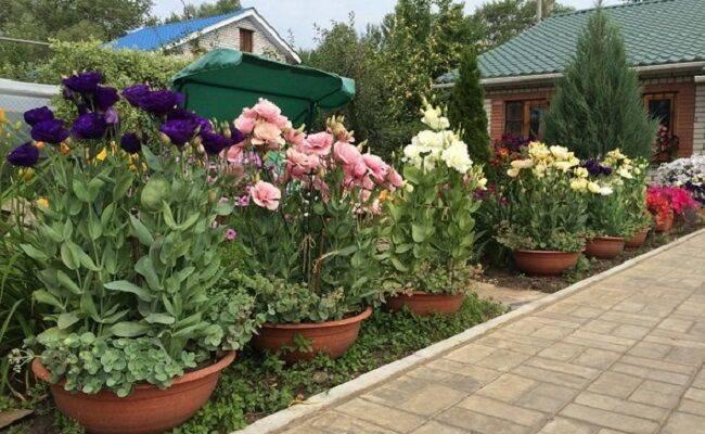 Альстромерия-фото цветка, посадка и уход, грунт, описание