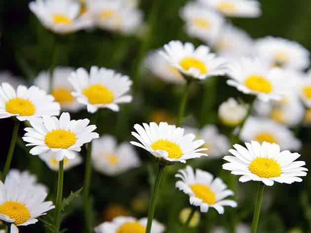 Как вырастить ромашку аптечную  как вырастить ромашку из семян  сад и огород