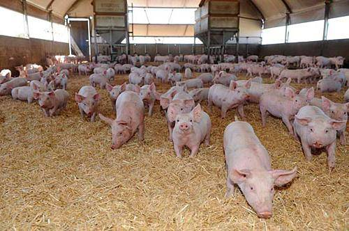 Комбикорма для свиней состав и виды
